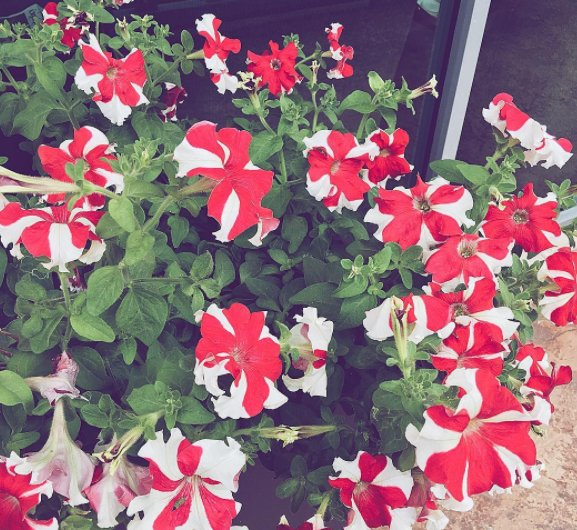 Flowers are red and white