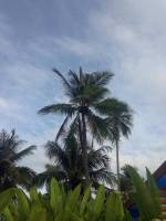 nature, lover, tall, coconut, trees, green, is, love