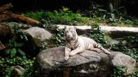 White Tiger Polar Bear #SingaporeZoo #Landscape