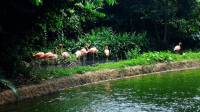 Flamingoes Polar Bear #SingaporeZoo #Landscape