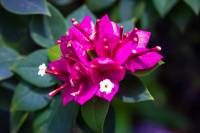 bogainvillea, macro photography, flower photography, flower