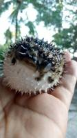 pufferfish, spikes