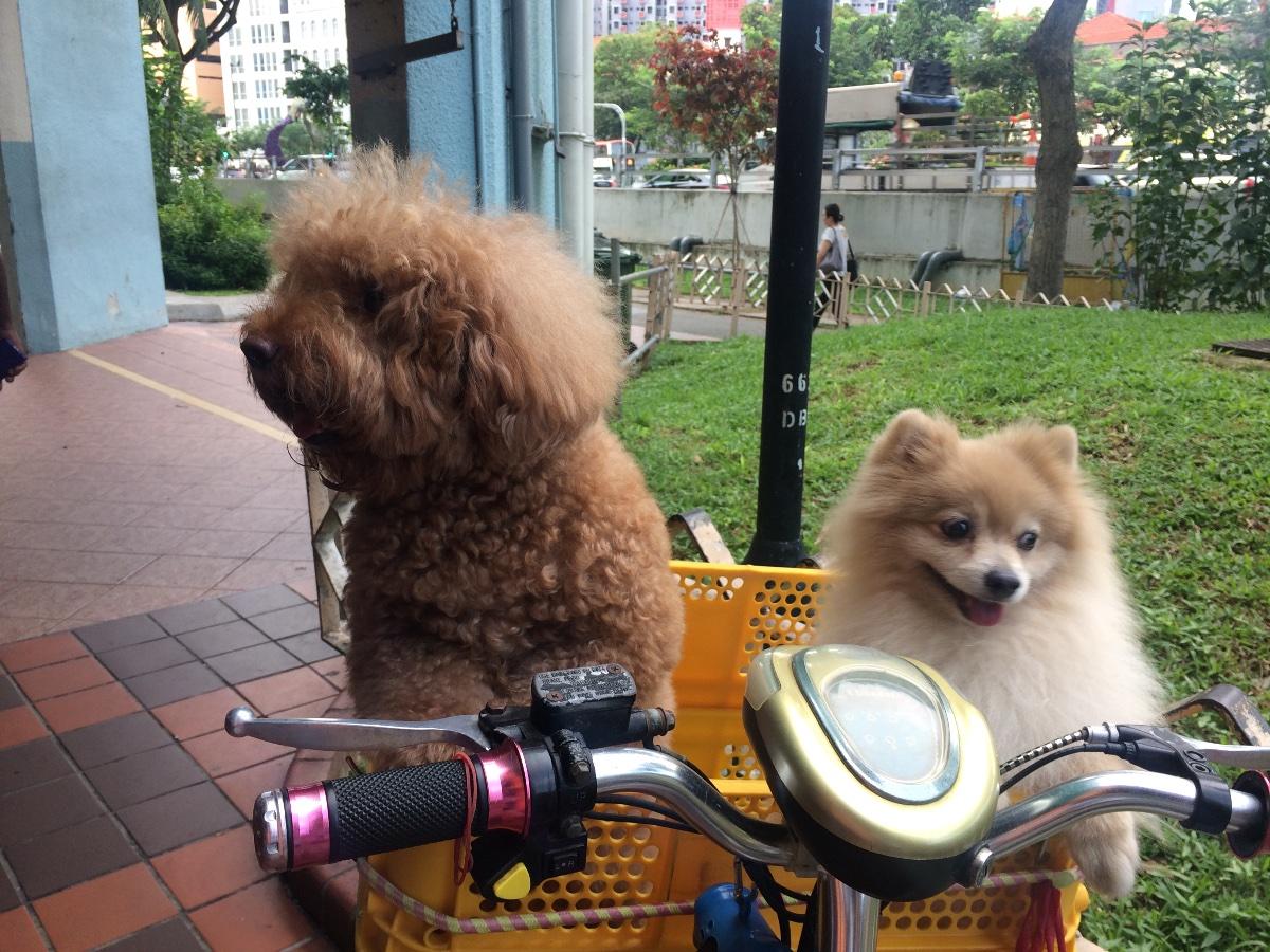 Cuties Poodle Pomeranian Singapore Photo Uploaded By