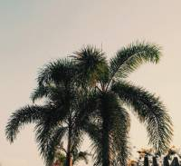 coconut tree, beautiful