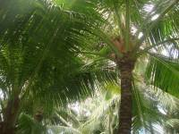 trees, coconut, greens, nature