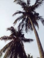 coconut trees, #travel, #traveler