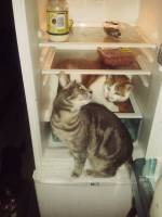 Cats, fridge, cheeky, food, laugh, silly