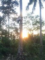 Coconut, Tree, Climb, Province, Relax, Chill