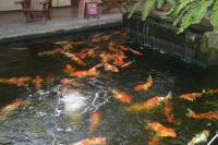 lots of koi