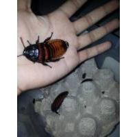 Exotic food, can be eaten alive, madascar hissing cockroach
